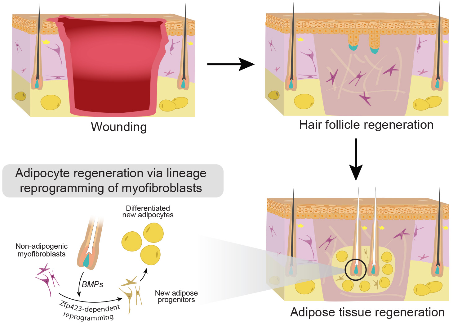 Regeneration of the skin